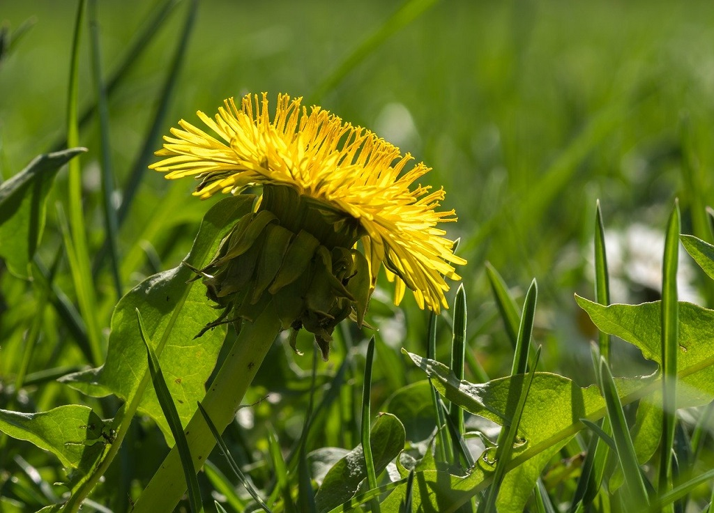 bright yellow dandelion weed in the grass